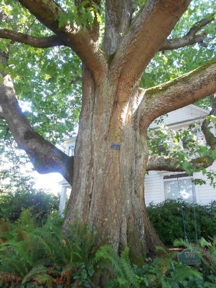 The little plaque says this is a heritage tree.  A Northern Red Oak, if I recall correctly.  This tree had to be eight feet in diameter, at least.  It was HUGE, y'all!