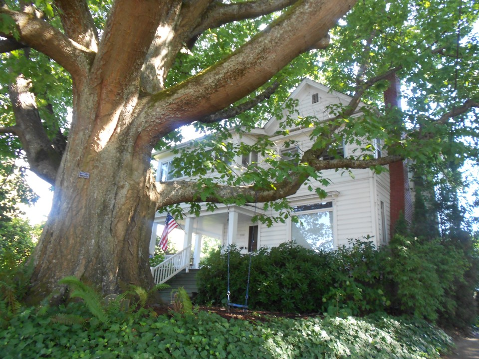 oak tree and house