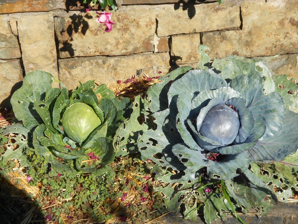 Lovely cabbages.