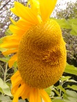 That mutant sunflower looks like it's trying to pucker up lips or something.