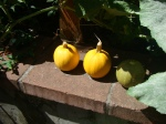 The fruits of this garden's labor--itty bitty little pumpkins.  They were so cute!  Each was the size of a softball or smaller.  I didn't pick them.  Somebody else did and left them here for some reason.
